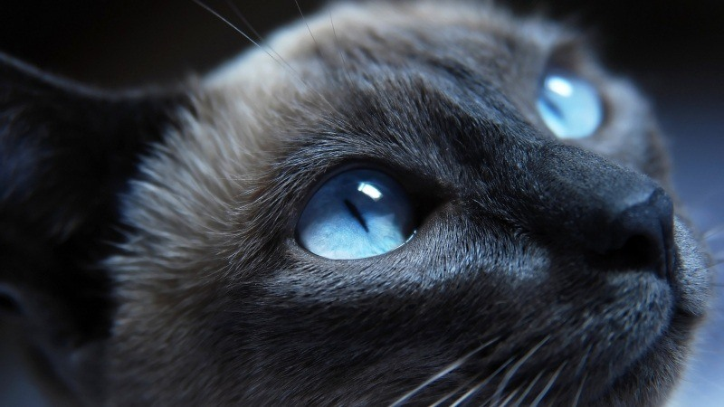 Chat siamois yeux  regard bleu wallpaper