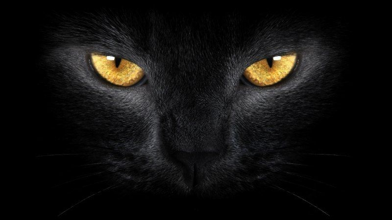 wallpaper chat noir regard doré photo