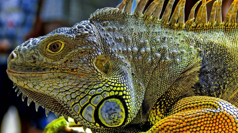 animal reptile iguane photo