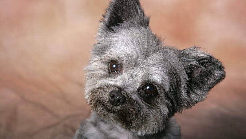 petit chien gris photo wallpaper