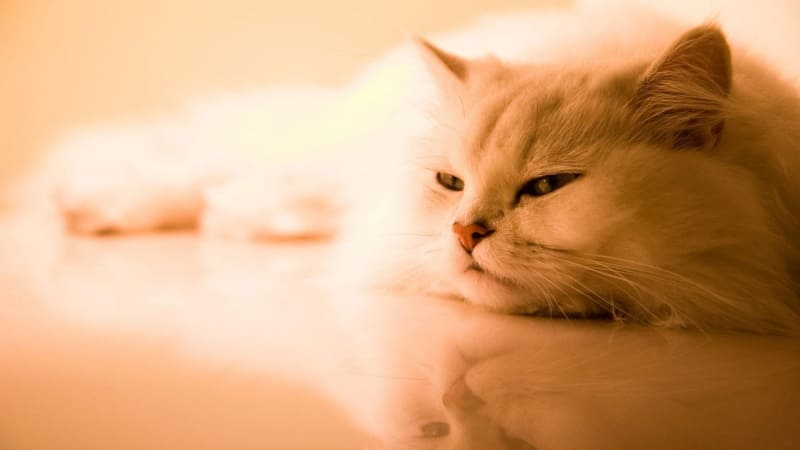 chat blanc photo wallpaper