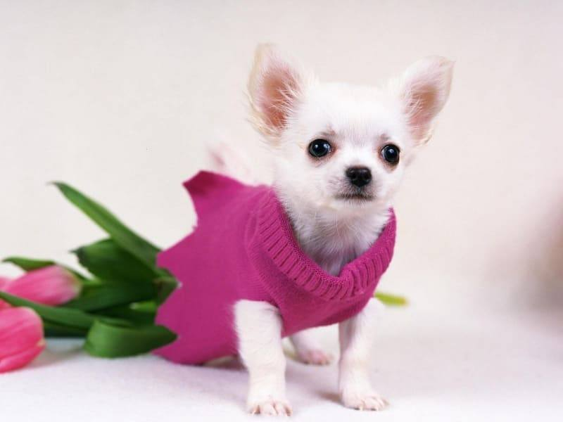chihuahua dog chien wallpaper