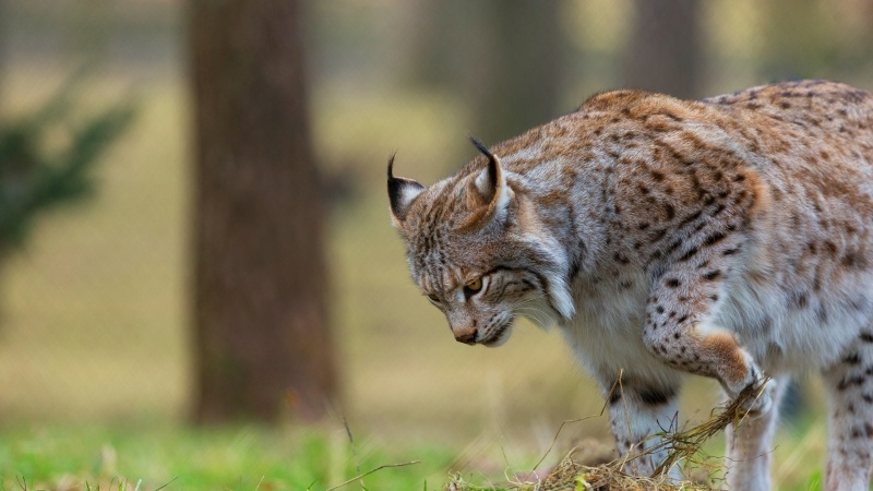 félin animal lynx en chasse photo wallpaper