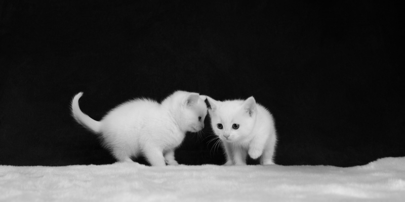 Fond d'écran HD chatons blanc image wallpaper