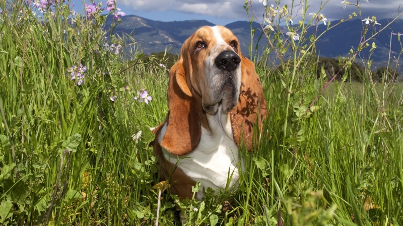 Chien Basset wallpaper