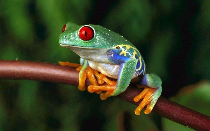 Grenouille verte yeux rouge